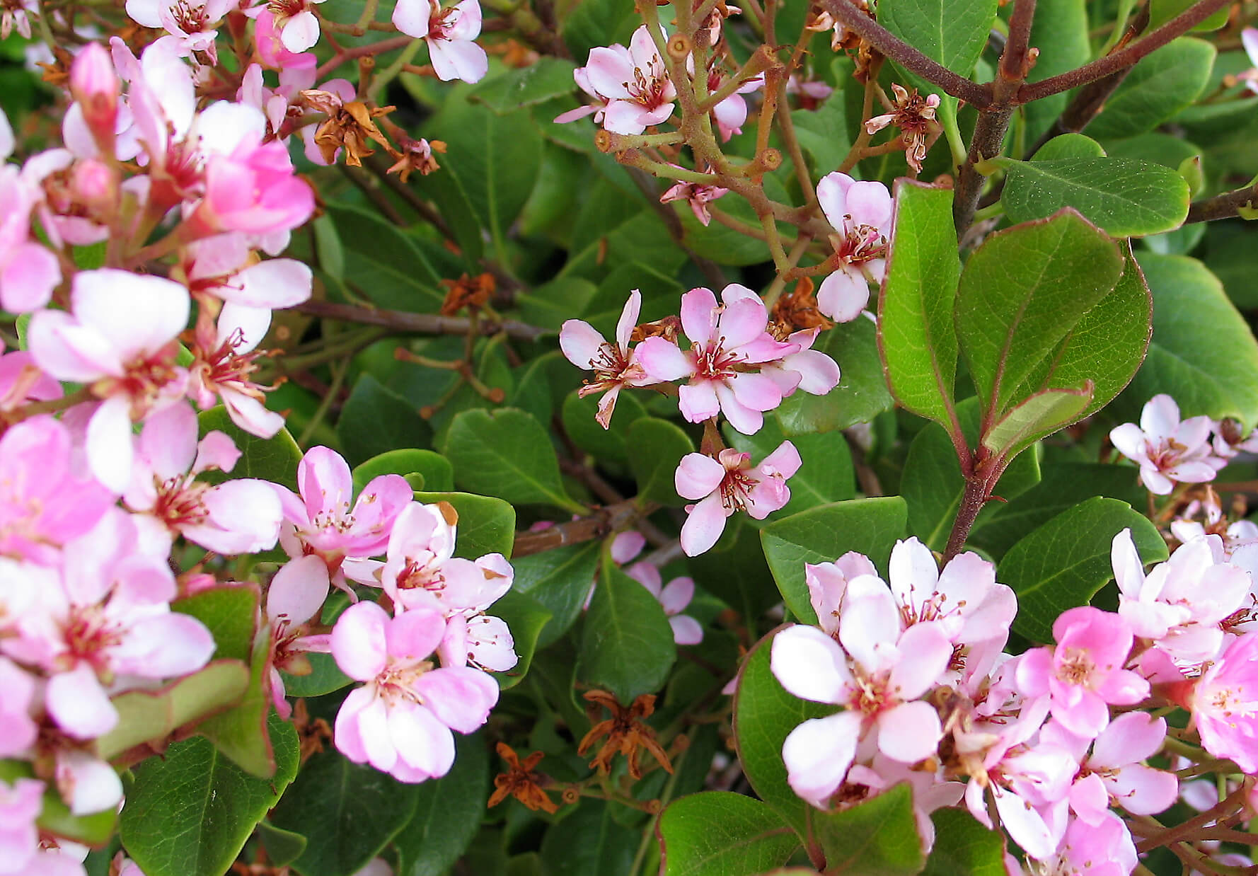 New mexico friendly shrubs osuna nursery has the most beautiful flower out of the whole broad leaf evergreen group a mass of pink or white flowers in the spring contrast beautifully with glossy mightylinksfo