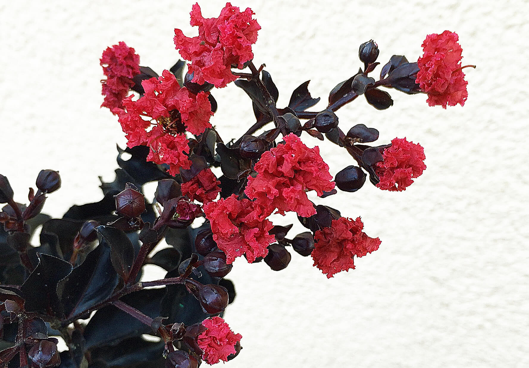 New Mexico Friendly Shrubs – Osuna Nursery on peppers red, animals red, ornamental grasses red, orchids red, berries red, cactus red, pots red, design red, nature red, mums red, flowers red,