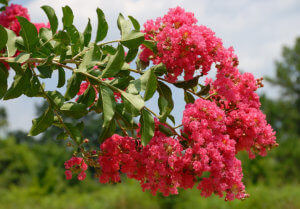 crepemyrtle