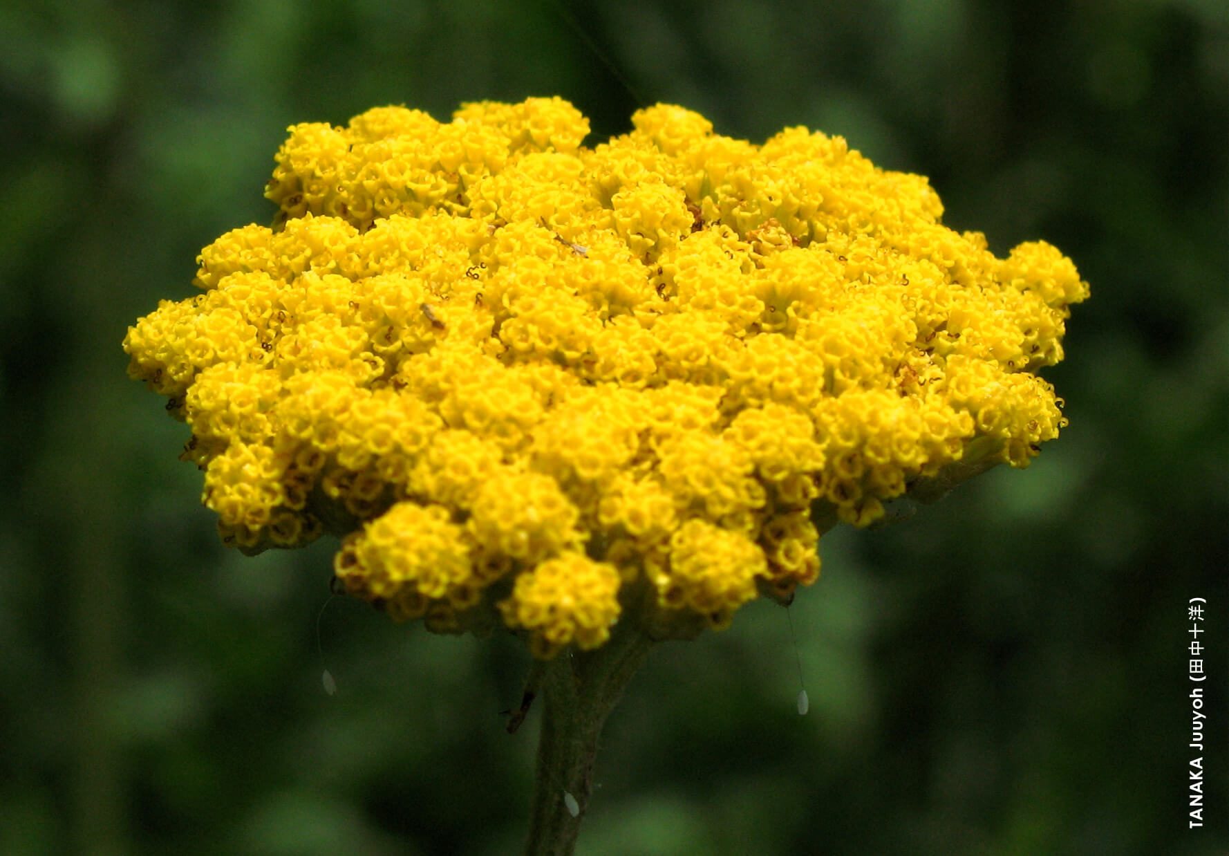 moonshineyarrow