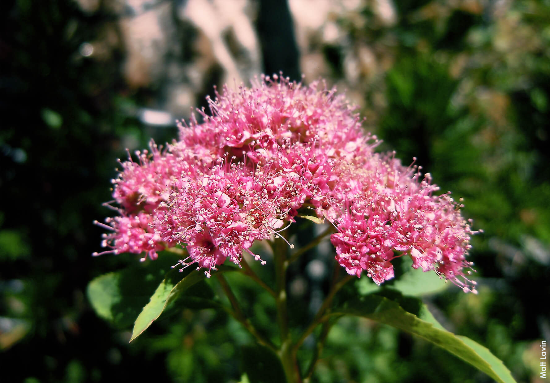 New mexico friendly shrubs osuna nursery is a delightful spring blooming shrub with small clusters of flowers there are two distinct types of spirea the bridal wreath type with a cluster of white mightylinksfo