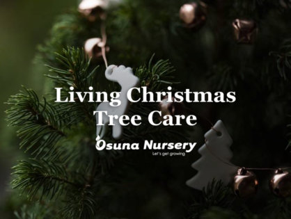 Living Christmas Tree Care